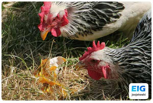 چرا مرغ تخم هایش را می خورد - جوجه کشی دات کام