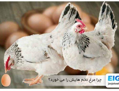 چرا مرغ تخم هایش را می خورد؟