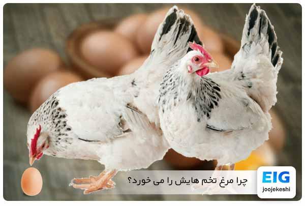 جلوگیری از تخم خوردن مرغ ها - جوجه کشی دات کام