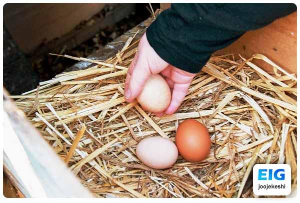 جمع کردن تخم های داخل لانه - جوجه کشی دات کام