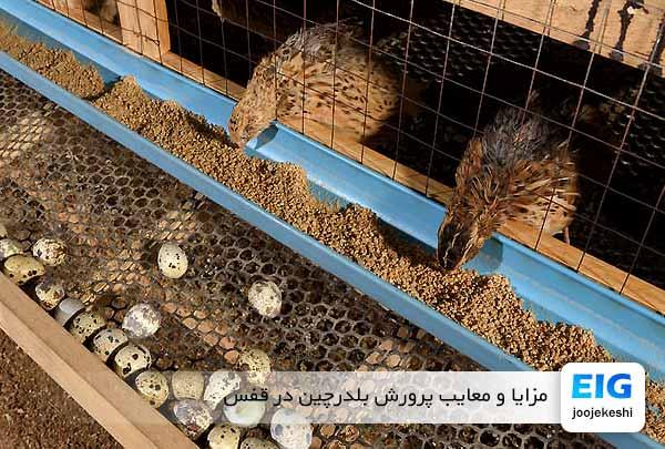 مزایا و معایب پرورش بلدرچین در قفس