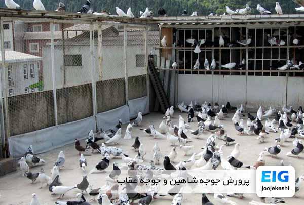 چگونه میتوان کبوتر را جلد کرد