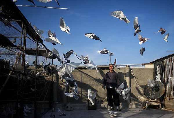 چگونگی جلد کردن کبوتر