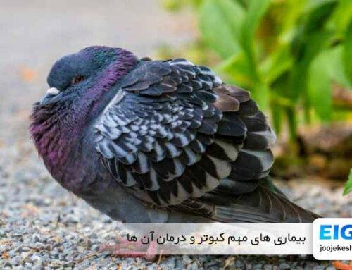 از بیماری های مهم کبوتر و درمان آن ها چه می دانید؟!