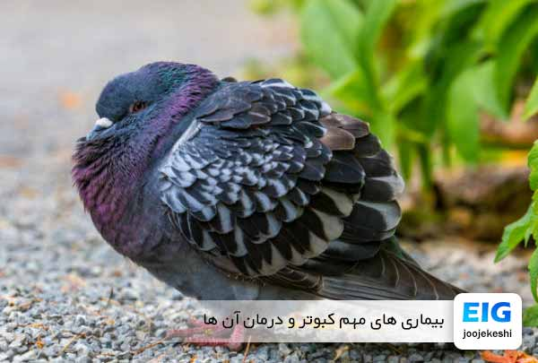 بیماری های مهم کبوتر و درمان آن ها