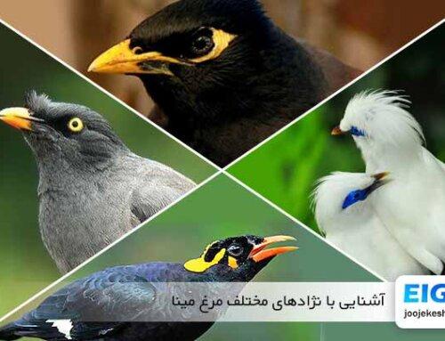 نژادهای مختلف مرغ مینا را بشناسید
