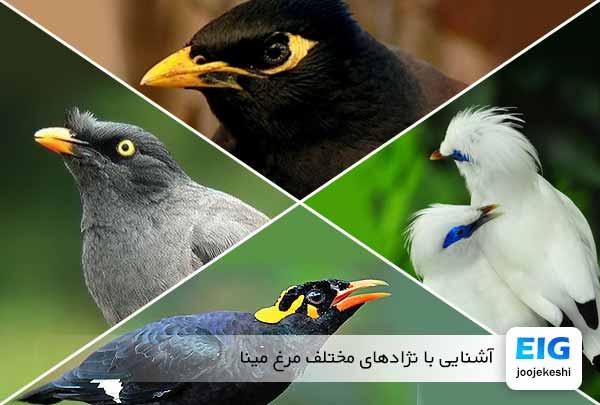 آشنایی با نژادهای مختلف مرغ مینا