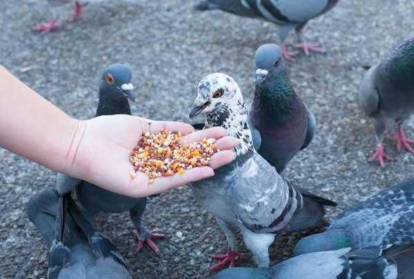 تغذیه کبوتر در تابستان