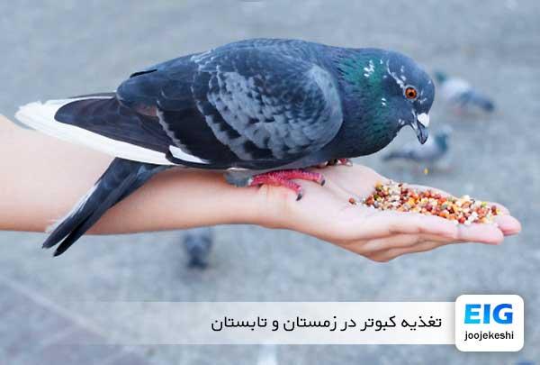 تغذیه کبوتر در زمستان و تابستان