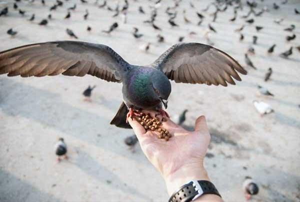 تغذیه کبوتر پرشی