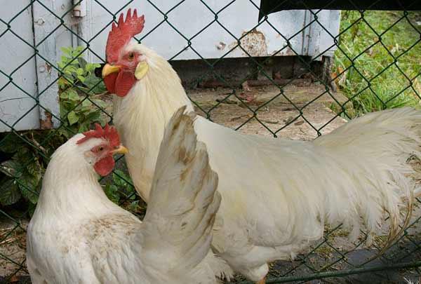 مرغ لگهورن یا لگرن