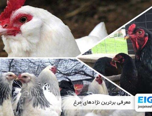 معرفی برترین نژادهای مرغ | بهترین نژاد مرغ تخمگذار | بهترین نژاد مرغ گوشتی