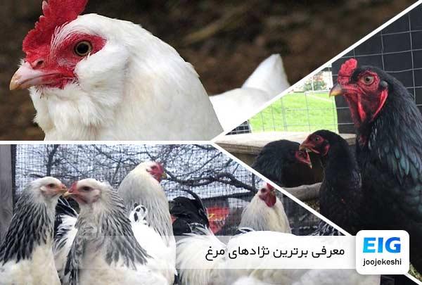 معرفی برترین نژادهای مرغ