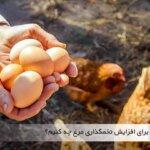 برای افزایش تخمگذاری مرغ ها چه باید کرد - جوجه کشی دات کام