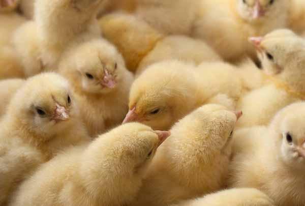 بررسی سود جوجه کشی از مرغ