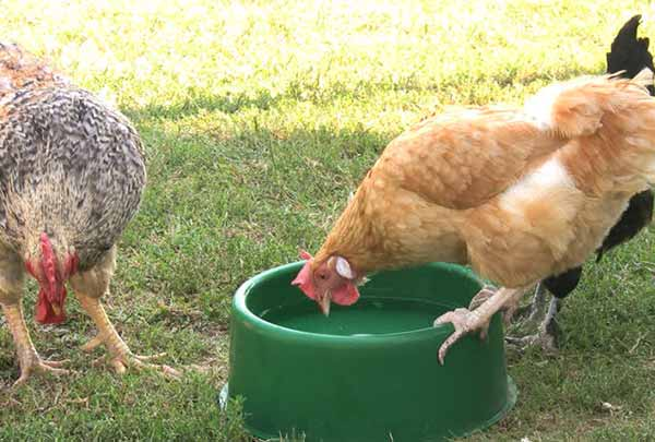 اثر تشنگی بر تخمگذاری مرغ - جوجه کشی دات کام