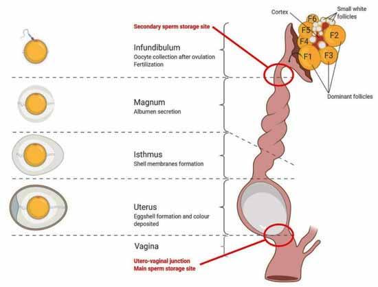 مراحل تشکیل تخم مرغ - جوجه کشی دات کام