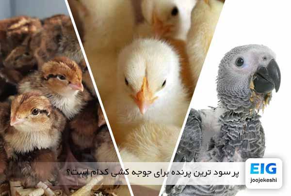 پر سود ترین پرنده برای جوجه کشی کدام است؟