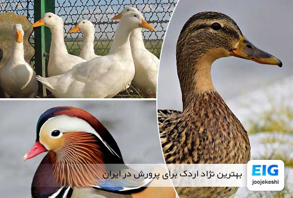 بهترین نژاد اردک برای پرورش در ایران - جوجه کشی دات کام