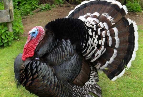 بوقلمون برنز (Bronze turkey) - جوجه کشی دات کام