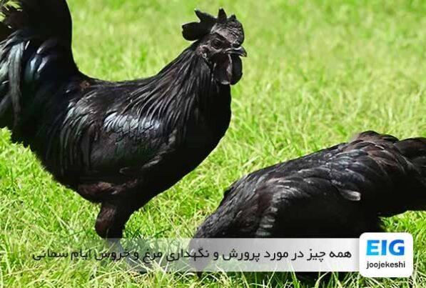 همه چیز در مورد پرورش و نگهداری مرغ و خروس ایام سمانی - جوجه کشی دات کام