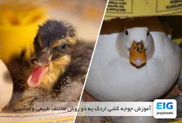 آموزش جوجه کشی اردک به دو روش مختلف طبیعی و ماشینی - جوجه کشی دات کام