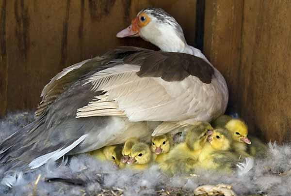 بهترین نژاد اردک برای جوجه آوری طبیعی - جوجه کشی دات کام