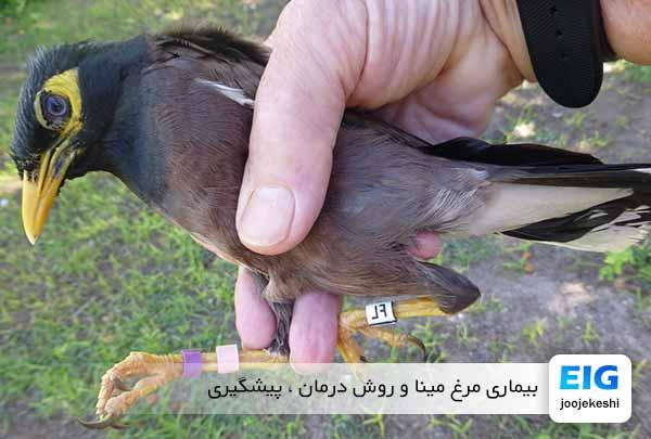 بیماری مرغ مینا | روش درمان و پیشگیری - اندیشه سبز