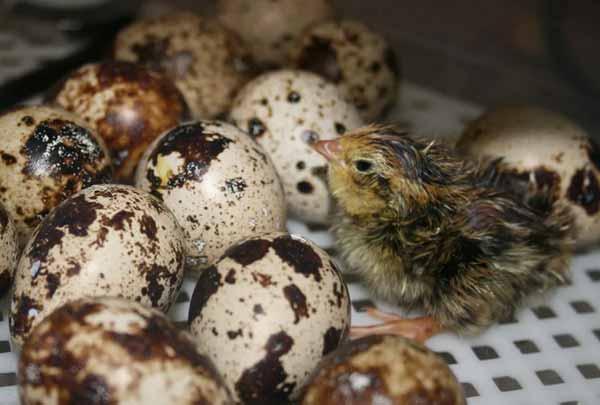 خرید تخم نطفه دار و جوجه کشی - اندیشه سبز
