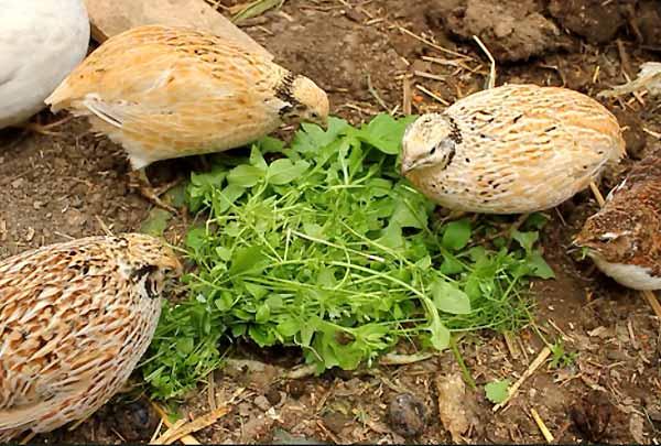 غذای بلدرچین تخمگذار از جوجگی تا بلوغ - جوجه کشی دات کام