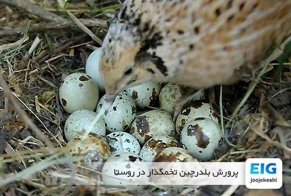 پرورش بلدرچین تخمگذار در روستا - جوجه کشی دات کام