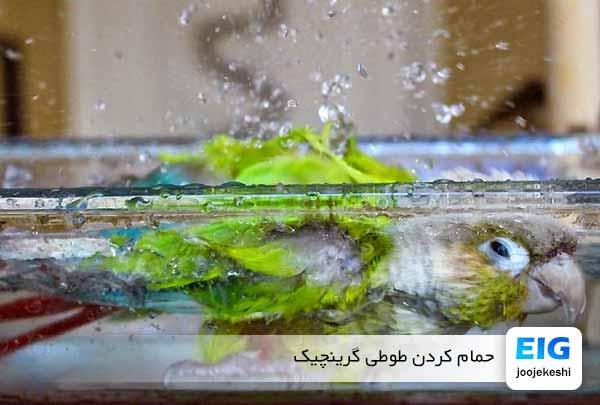 حمام کردن طوطی گرینچیک - جوجه کشی دات کام