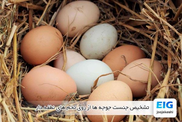 تشخیص جنست جوجه ها از روی تخم های نطفه دار - جوجه کشی دات کام