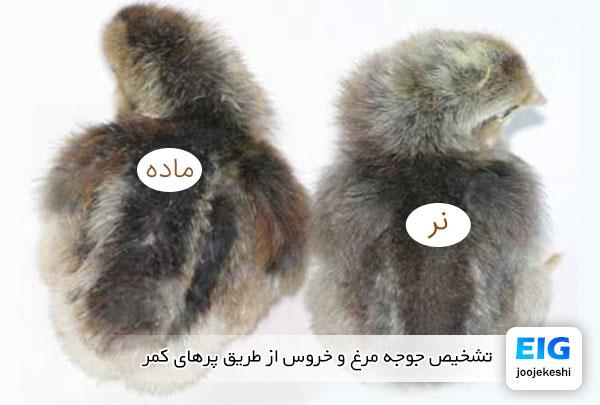 تشخیص جوجه مرغ و خروس از طریق پرهای کمر - جوجه کشی دات کام