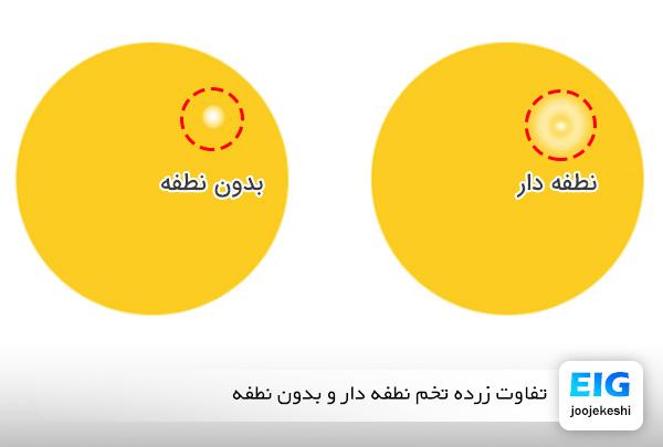 عکس نطفه بر روی زرده تخم مرغ - سایت جوجه کشی دات کام
