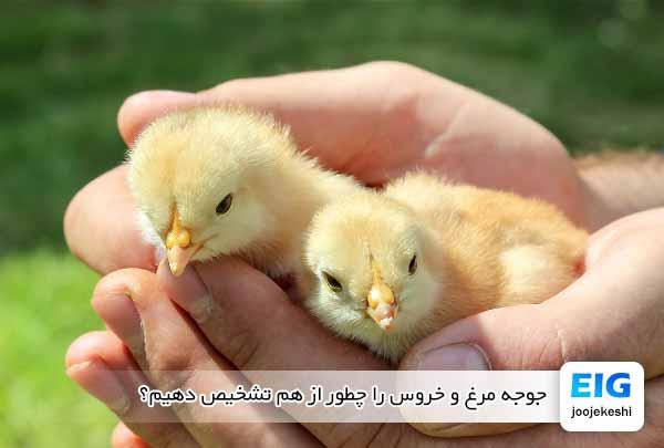 جوجه مرغ و خروس را چطور از هم تشخیص دهیم؟ - جوجه کشی دات کام