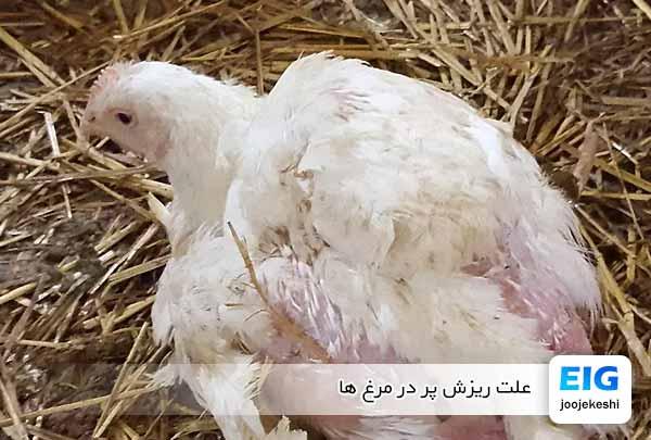 علت ریزش پر در مرغ ها - جوجه کشی دات کام