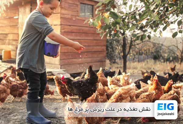 نقش تغذیه در علت ریزش پر مرغ ها - جوجه کشی دات کام