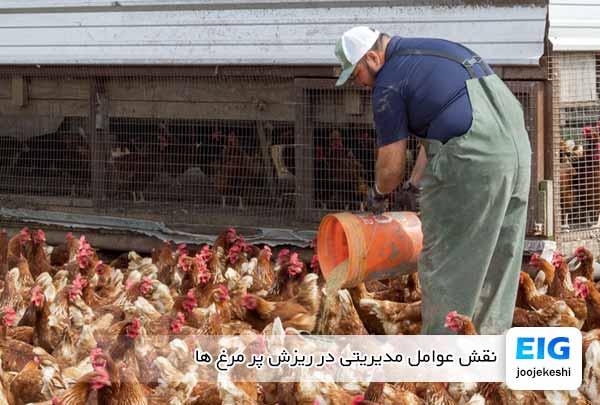 نقش عوامل مدیریتی در ریزش پر مرغ ها - جوجه کشی دات کام