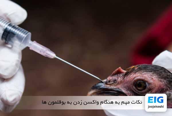 نکات مهم به هنگام واکسن زدن به بوقلمون ها - اندیشه سبز