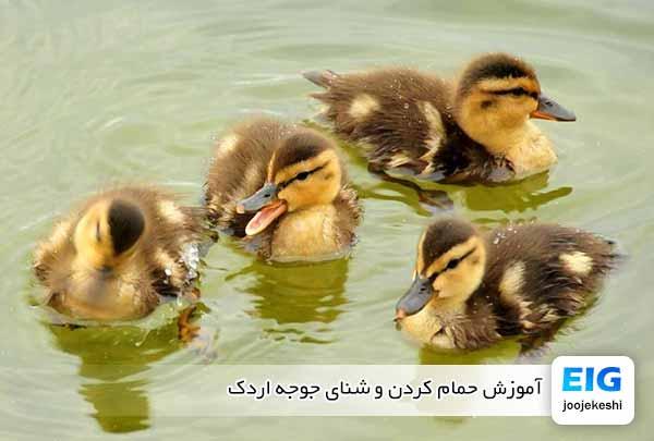 آموزش حمام کردن و شنای جوجه اردک - جوجه کشی دات کام
