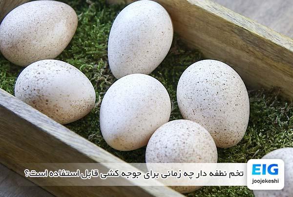 تخم نطفه دار بوقلمون چه زمانی برای جوجه کشی قابل استفاده است؟ - جوجه کشی دات کام