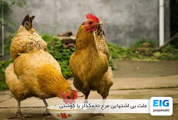 علت بی اشتهایی مرغ تخمگذار یا گوشتی - جوجه کشی دات کام