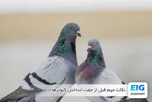 نکات مهم قبل از جفت انداختن کبوترها - جوجه کشی دات کام