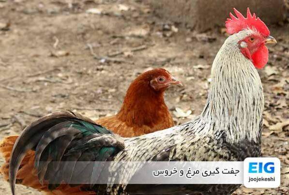 جفت گیری مرغ و خروس - جوجه کشی دات کام
