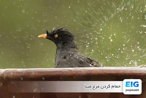 حمام کردن مرغ مینا - جوجه کشی دات کام
