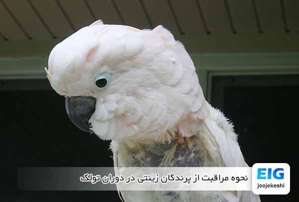 نحوه مراقبت از پرندگان زینتی در دوران تولک - جوجه کشی دات کام