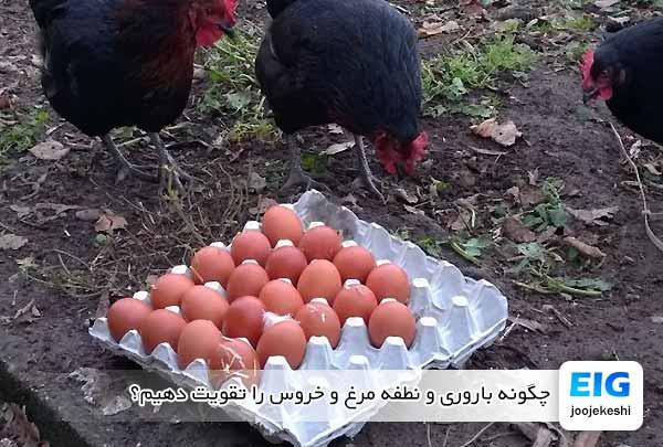 چگونه باروری و نطفه مرغ و خروس را تقویت دهیم؟ - جوجه کشی دات کام