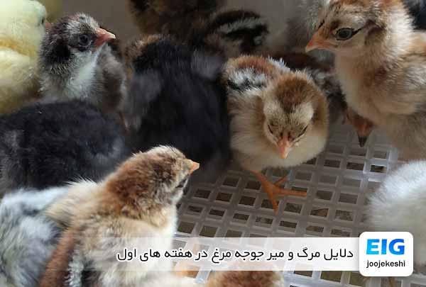 دلایل مرگ و میر جوجه مرغ در هفته های اول - جوجه کشی دات کام