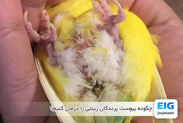 چگونه یبوست پرندگان زینتی را درمان کنیم؟ - جوجه کشی دات کام